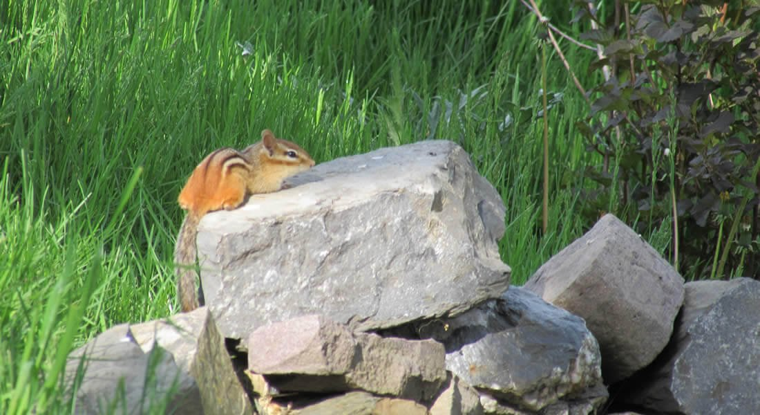 Chipmunk sitting on a pile of large rocks in a bed of green grass