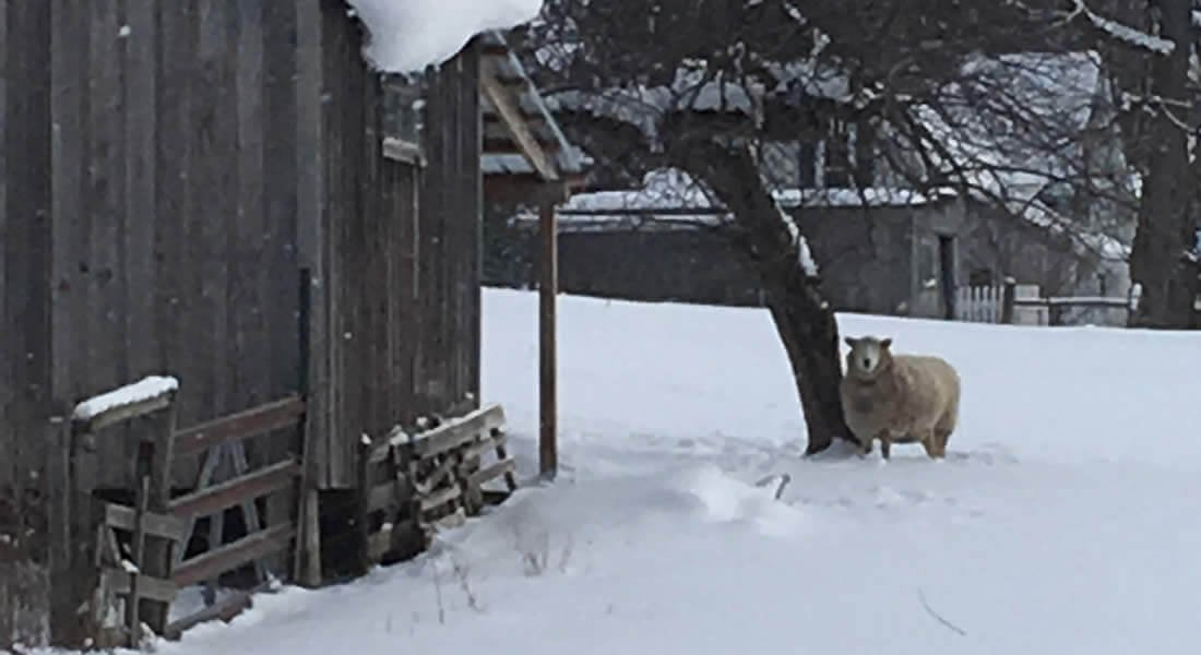 Sheep standing on white snow covered ground next to a tree and two rustic barns