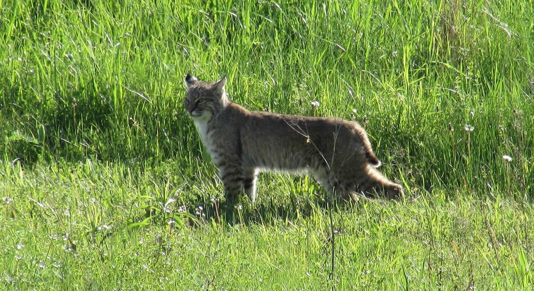 Tan and white bobcat standing in a green grass
