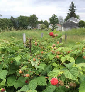 Close-up view of wild red raspberry bushes surrounded by green fields with a house, barns and trees in background
