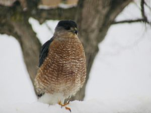 A hawk with orange striped breast and gray head sits in snow in front of a gray tree.