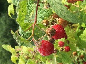 Rasperries ripe for picking at Cornwall Orchards Bed and Breakfast